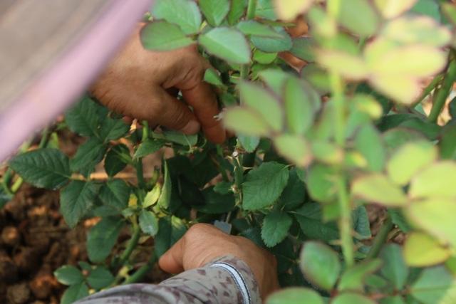 Bỏ việc ở Nhật, kỹ sư về quê trồng hoa thu đến 500 triệu đồng/tháng - 6