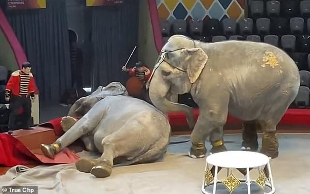 Hai con voi đánh nhau để giành quyền tranh sủng khiến rạp xiếc hỗn loạn - 1