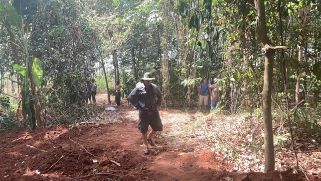 Lén lút chôn hơn 100 con heo chết trong rừng cao su - 1