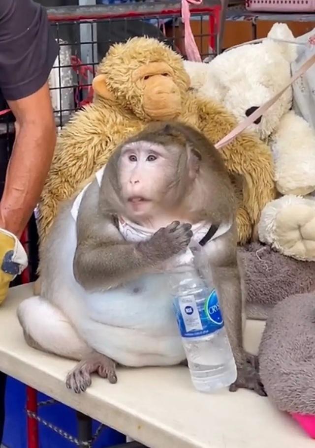 Gặp chú khỉ béo phì trầm trọng vì được người đi chợ cho ăn vặt quá nhiều - 3