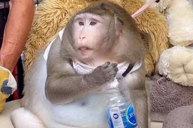 Gặp chú khỉ béo phì trầm trọng vì được người đi chợ cho ăn vặt quá nhiều - 1