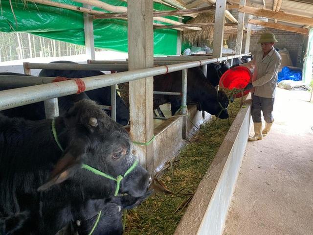 Nuôi bò lực sĩ 3B nhập từ Bỉ, nặng cả tấn, bán mỗi con nông dân lãi 35 triệu đồng - 2