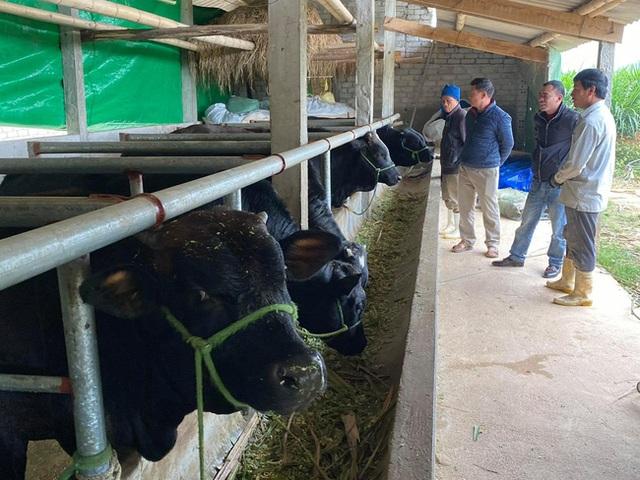 Nuôi bò lực sĩ 3B nhập từ Bỉ, nặng cả tấn, bán mỗi con nông dân lãi 35 triệu đồng - 3