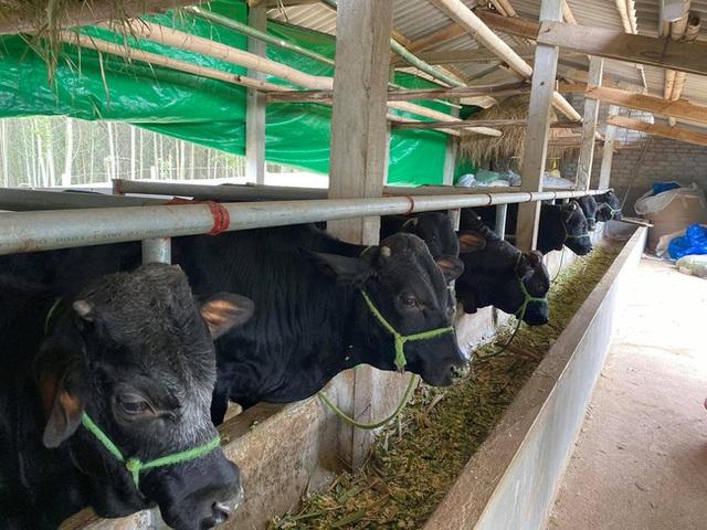 Nuôi bò lực sĩ 3B nhập từ Bỉ, nặng cả tấn, bán mỗi con nông dân lãi 35 triệu đồng - 4