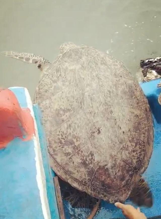 Rùa biển quý hiếm dài hơn 1m, nặng 120kg mắc lưới ngư dân - 2