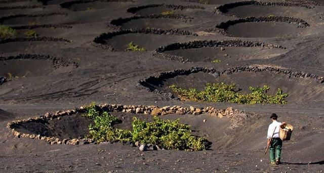 Cách trồng nho lạ trên đảo núi lửa, nông dân tạo ra rượu vang thượng hạng - 2