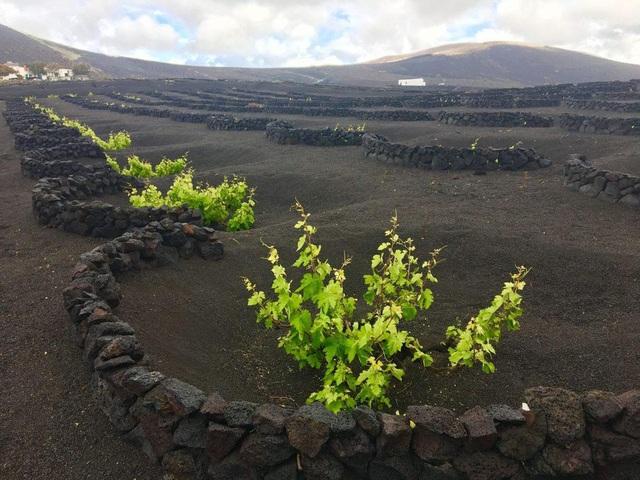 Cách trồng nho lạ trên đảo núi lửa, nông dân tạo ra rượu vang thượng hạng - 3