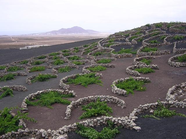 Cách trồng nho lạ trên đảo núi lửa, nông dân tạo ra rượu vang thượng hạng - 4