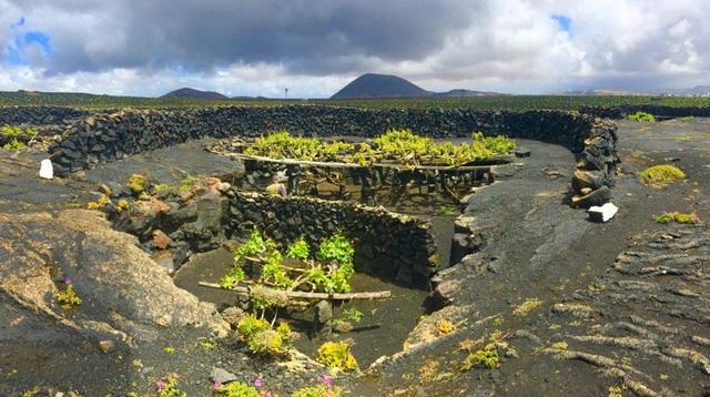 Cách trồng nho lạ trên đảo núi lửa, nông dân tạo ra rượu vang thượng hạng - 5