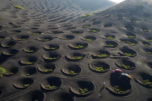 Cách trồng nho lạ trên đảo núi lửa, nông dân tạo ra rượu vang thượng hạng - 6