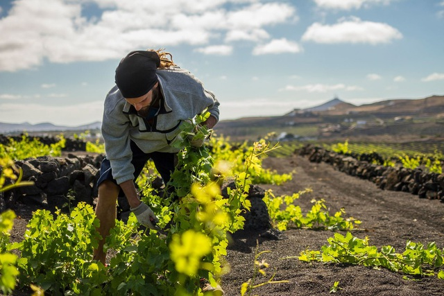 Cách trồng nho lạ trên đảo núi lửa, nông dân tạo ra rượu vang thượng hạng - 7