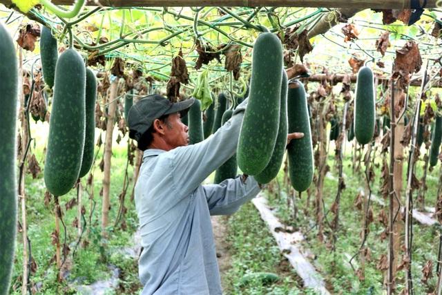 Bí đao rớt giá lúc lỉu trên giàn, nông dân Quảng Nam lao đao - 2