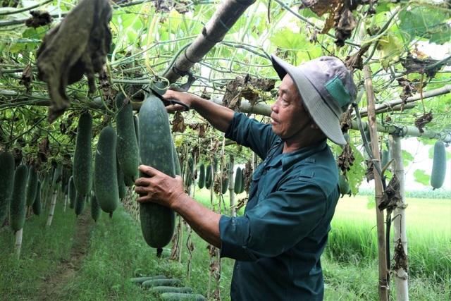 Bí đao rớt giá lúc lỉu trên giàn, nông dân Quảng Nam lao đao - 3