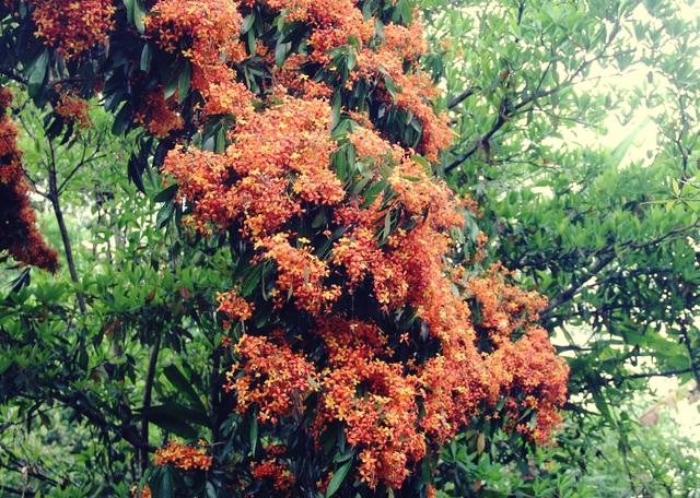 Hoa trang rừng cổ thụ bung nở rực rỡ ở nơi được ví là