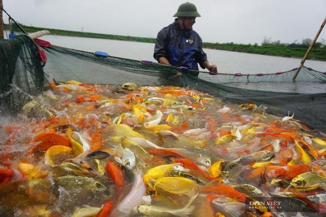 Nuôi loài cá sang chảnh, có con dài gần 1 mét, bán giá nghìn đô, 8X thu tiền tỷ - 2