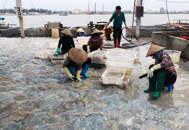 Ngư dân Nam Định thu tiền triệu nhờ đánh bắt sứa biển - 3