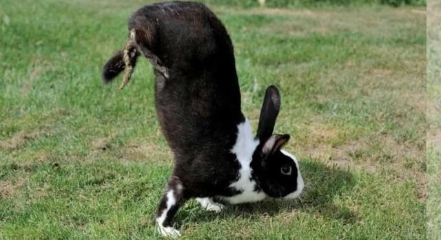 Loài thỏ kỳ lạ chỉ di chuyển bằng cách… trồng chuối - 1