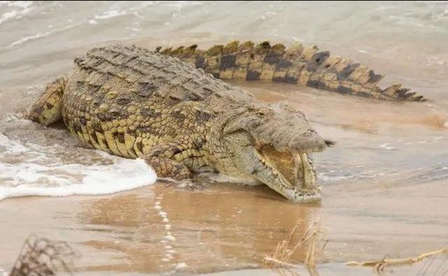 Cực hiếm cảnh cá sấu khổng lồ xơi tái cá mập - 2