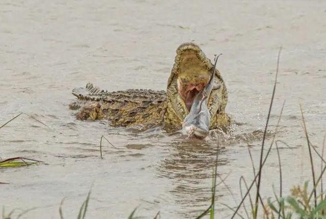 Cực hiếm cảnh cá sấu khổng lồ xơi tái cá mập - 3