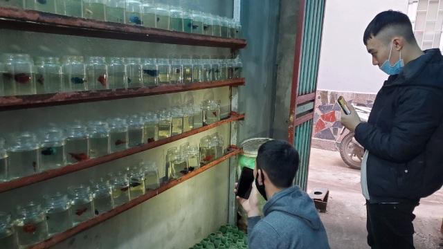 Hà Nội: Lão nông 55 tuổi đam mê cá chọi, thu hàng trăm triệu đồng/năm - 6