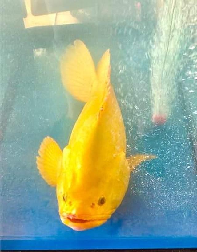 Âm thầm thả cá mú vàng về biển, dù được trả giá hàng trăm triệu đồng - 1