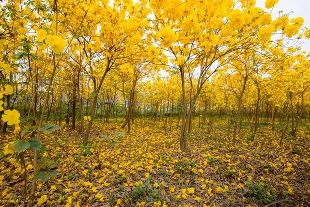 Vườn hoa phong linh nở sắc vàng rực rỡ đẹp tựa trời Âu ở Bắc Giang - 2