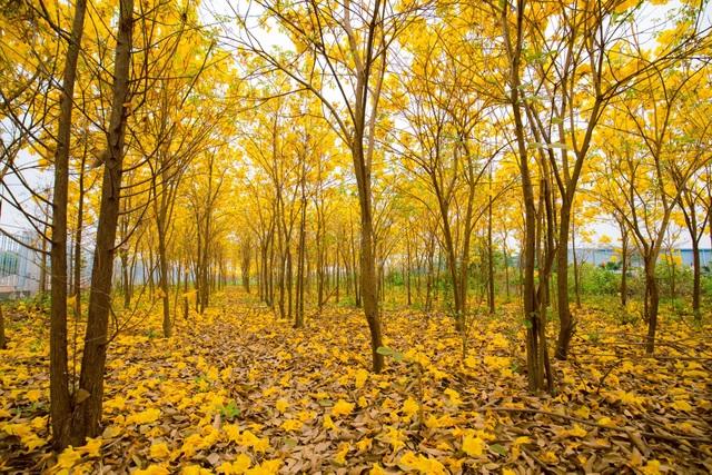Vườn hoa phong linh nở sắc vàng rực rỡ đẹp tựa trời Âu ở Bắc Giang - 3