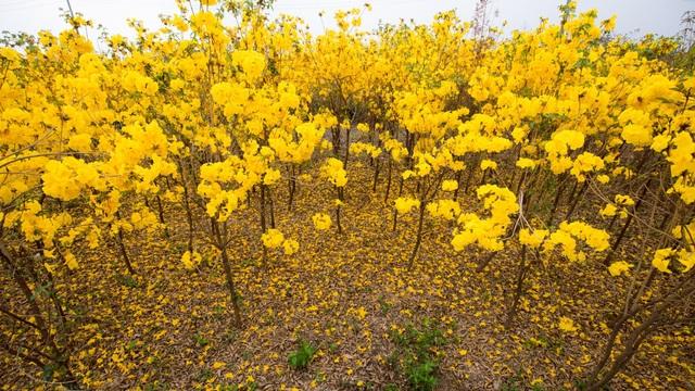 Vườn hoa phong linh nở sắc vàng rực rỡ đẹp tựa trời Âu ở Bắc Giang - 4