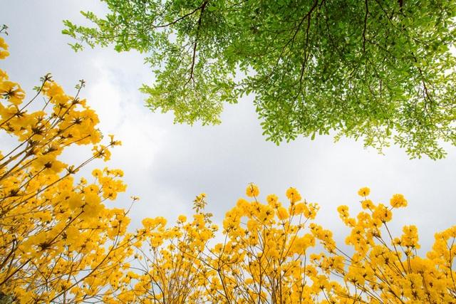 Vườn hoa phong linh nở sắc vàng rực rỡ đẹp tựa trời Âu ở Bắc Giang - 5