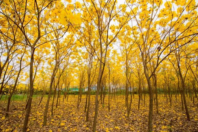 Vườn hoa phong linh nở sắc vàng rực rỡ đẹp tựa trời Âu ở Bắc Giang - 6