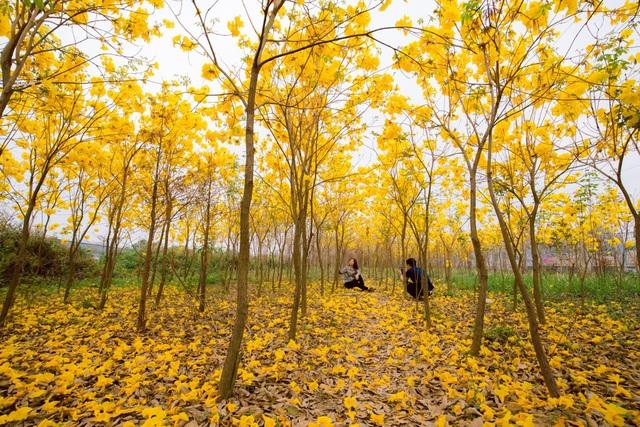 Vườn hoa phong linh nở sắc vàng rực rỡ đẹp tựa trời Âu ở Bắc Giang - 7