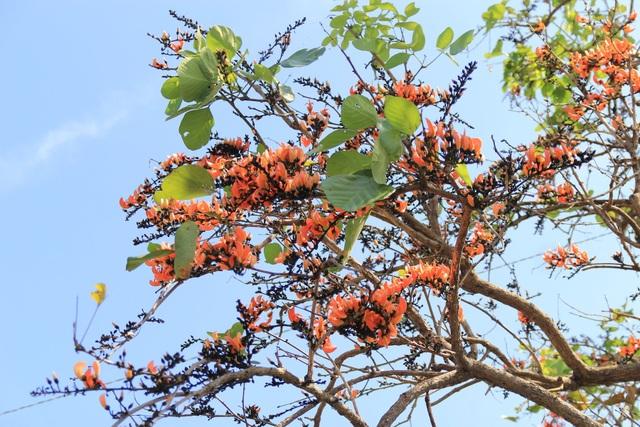 Chiêm ngưỡng loại hoa lạ của vùng chảo lửa Krông Pa - 4