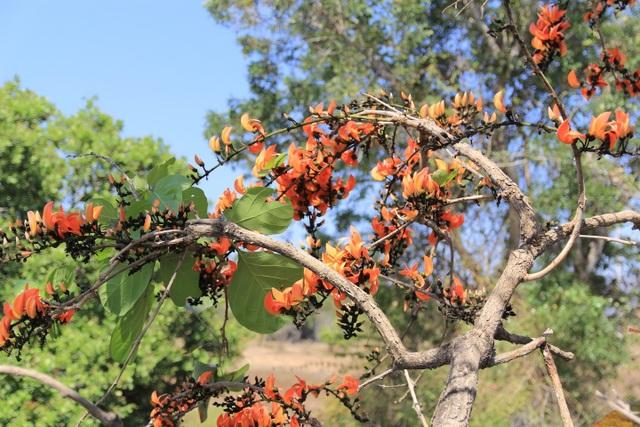 Chiêm ngưỡng loại hoa lạ của vùng chảo lửa Krông Pa - 6