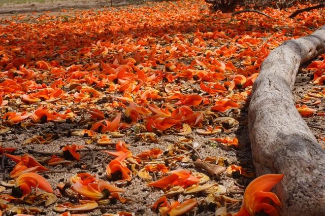 Chiêm ngưỡng loại hoa lạ của vùng chảo lửa Krông Pa - 8