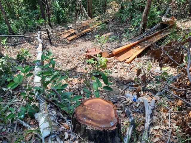 Bàng hoàng trước cảnh rừng xanh bị xẻ thịt, cây rừng bị đốn hạ la liệt…! - 3
