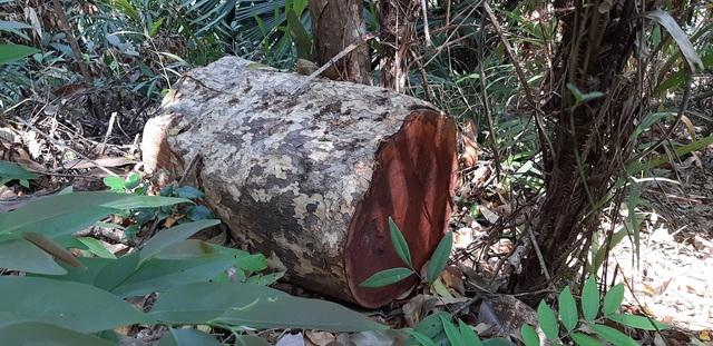 Bàng hoàng trước cảnh rừng xanh bị xẻ thịt, cây rừng bị đốn hạ la liệt…! - 4