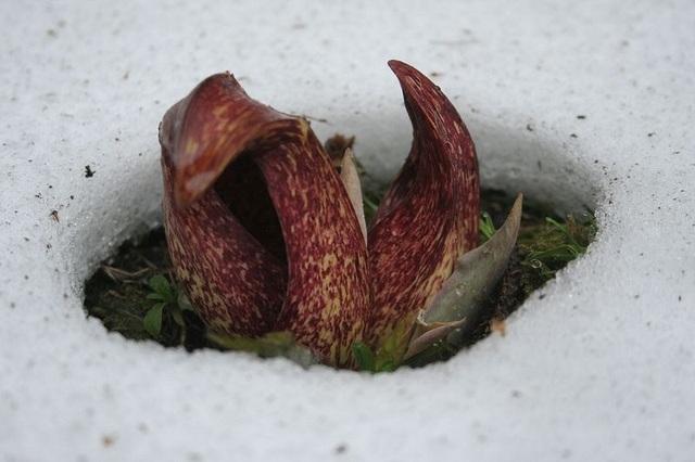 Loài thực vật kỳ lạ đâm chồi nảy mầm sẽ khiến băng tuyết tan thành nước - 1