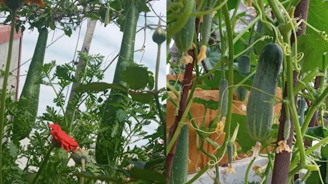 Quả trĩu cành, hoa bốn mùa trên sân thượng của người phụ nữ tại Hải Phòng - 8