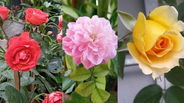 Quả trĩu cành, hoa bốn mùa trên sân thượng của người phụ nữ tại Hải Phòng - 9