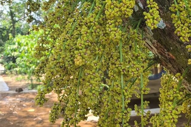 Loài hoa mọc từ thân đẹp ngỡ ngàng hút du khách check-in ở Phú Yên - 4