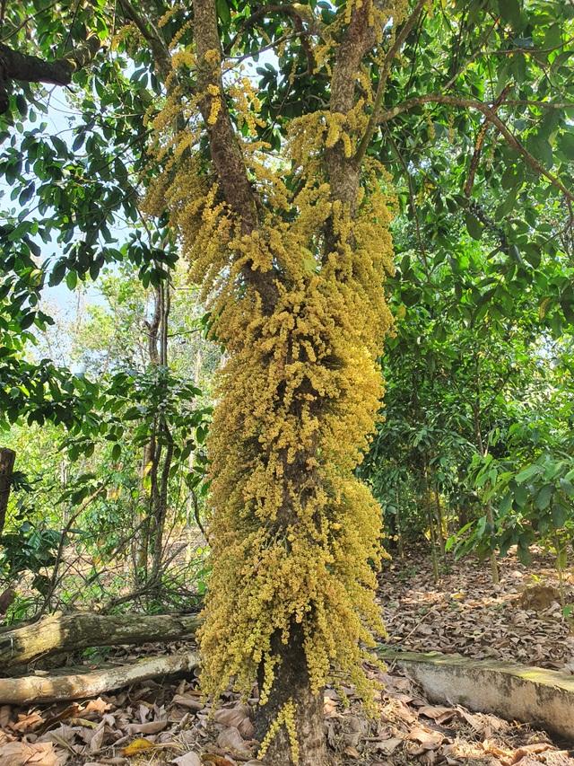 Loài hoa mọc từ thân đẹp ngỡ ngàng hút du khách check-in ở Phú Yên - 8