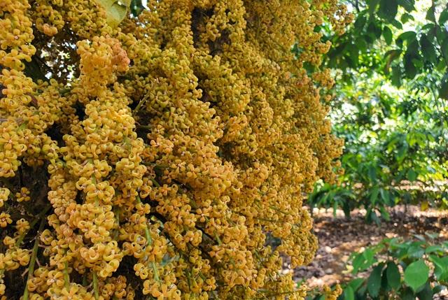 Loài hoa mọc từ thân đẹp ngỡ ngàng hút du khách check-in ở Phú Yên - 3