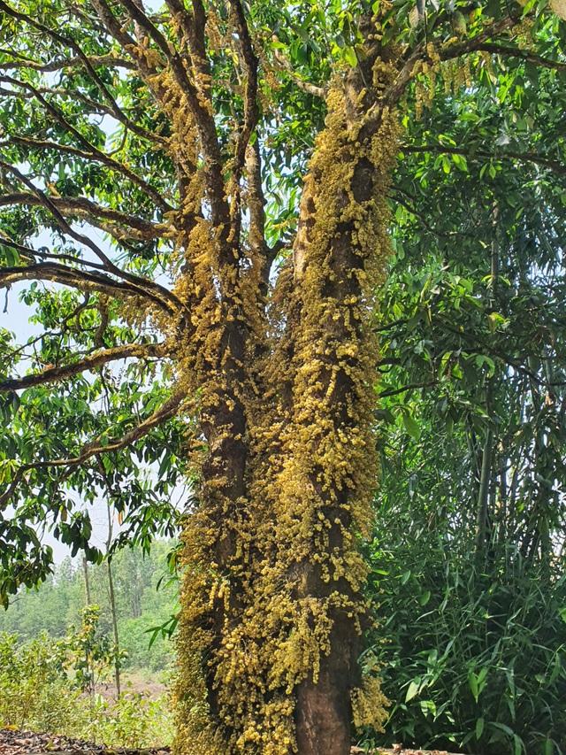 Loài hoa mọc từ thân đẹp ngỡ ngàng hút du khách check-in ở Phú Yên - 7
