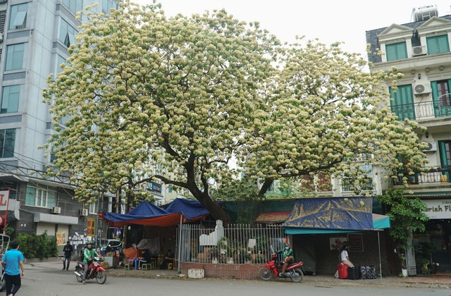 Overwhelmed by the 300-year-old vermicelli tree, a unique treasure in Hanoi - 1