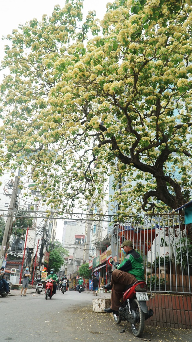 Overwhelmed by the 300-year-old vermicelli tree, a unique treasure in Hanoi - 6