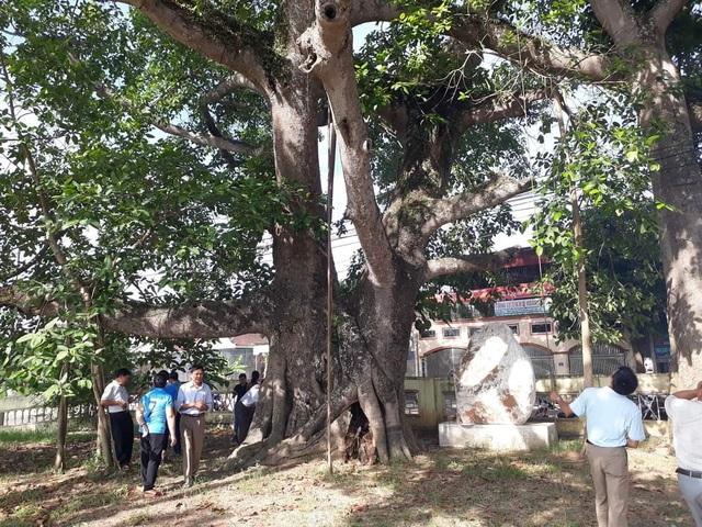 Cận cảnh cây đa di sản hơn 300 tuổi gãy cành lớn, rơi trúng 4 học sinh - 3