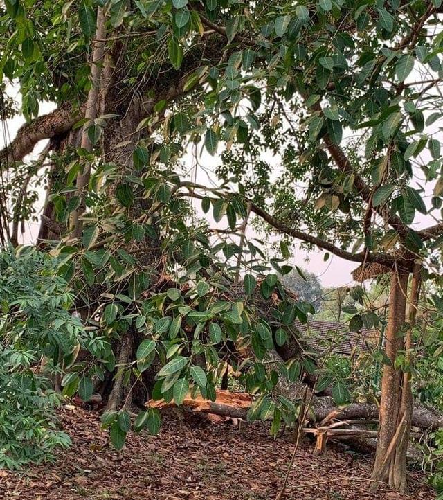 Tuy nhiên, chiều 31/3, những cành lớn của cây đa Làng Trù bất ngờ gãy cành.