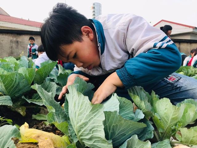 Học sinh thích thú khi giờ học là bắt sâu, là su hào, bắp cải, khoai tây... - 4