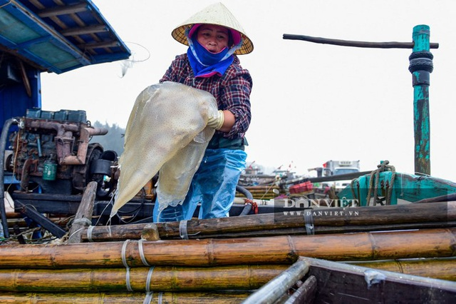 Vào mùa sứa biển, ngư dân Thanh Hóa có tiền triệu nhờ lộc trời - 2