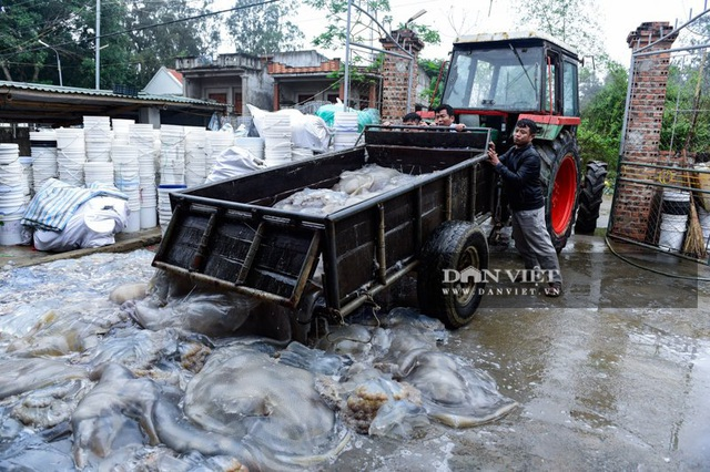 Vào mùa sứa biển, ngư dân Thanh Hóa có tiền triệu nhờ lộc trời - 3